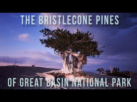 Bristlecone Pines | 100 Wonders | Atlas Obscura