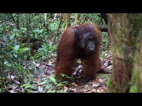 Adult male Bornean orangutan fast long calls and kiss squeaks at observers