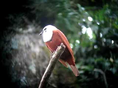 Three Wattled Bell Bird - Costa Rica