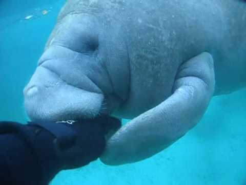 Manatee Attack - A Manatee tries to bite off my Hand!