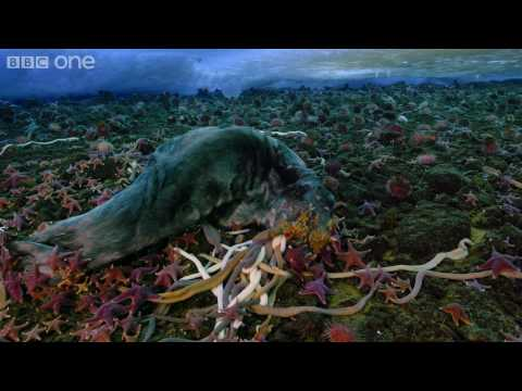 Life - Timelapse of swarming monster worms and sea stars - BBC One