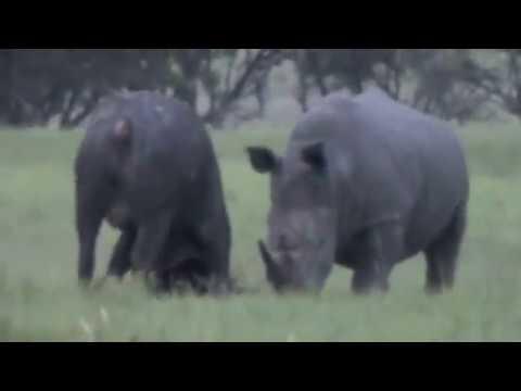 Epic Battle of Rhino vs. Buffalo (Original Film)