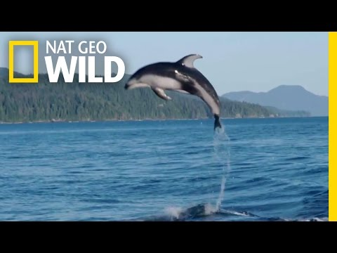 A Showy Dolphin Super-Pod | Destination WILD