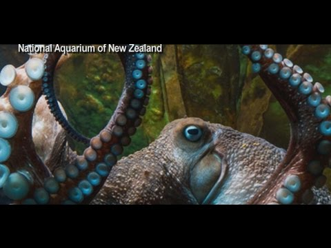 Octopus Escapes From New Zealand Aquarium