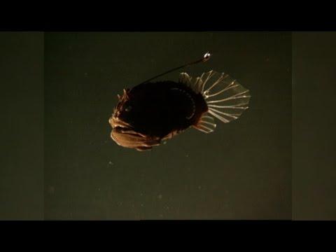 The Female Angler Fish's Strangest Appendage: The Male Angler Fish