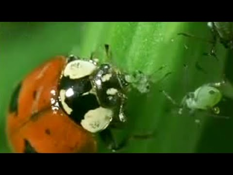 Aphid Cloning | Battle of the Animal Sexes | BBC Studios