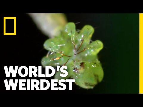 Carnivorous Caterpillars | World's Weirdest