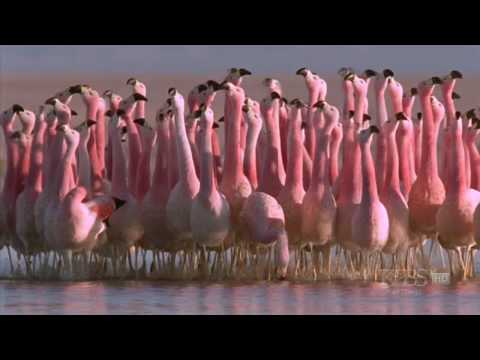 """(Hilarious) Andean flamingo mating dance 