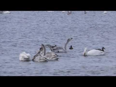 Swan Lake Svetloe - Altai