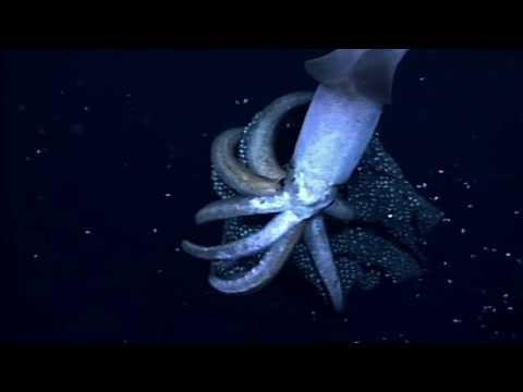 Squid Babies, Born Like Stars
