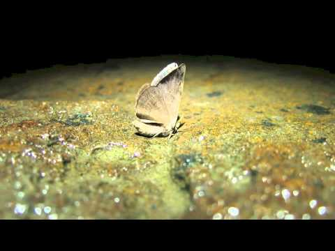 Squirting Moth