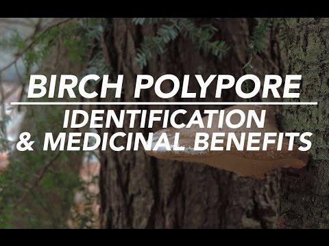 Birch Polypore —Mushroom Identification & Medicinal Benefits with Adam Haritan