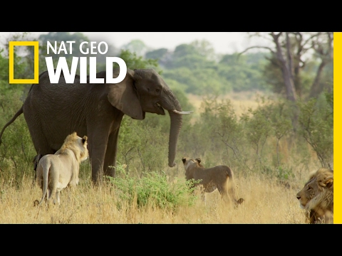 Fending Off The Enemy | Elephant: King of the Kalahari