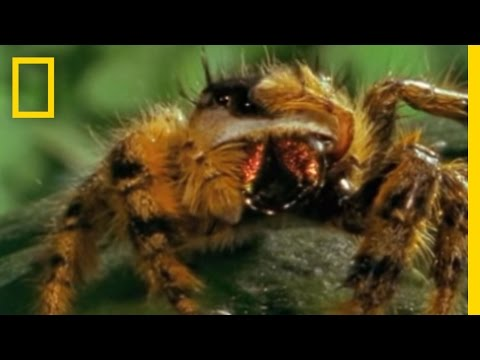 Bee vs. Jumping Spider | National Geographic