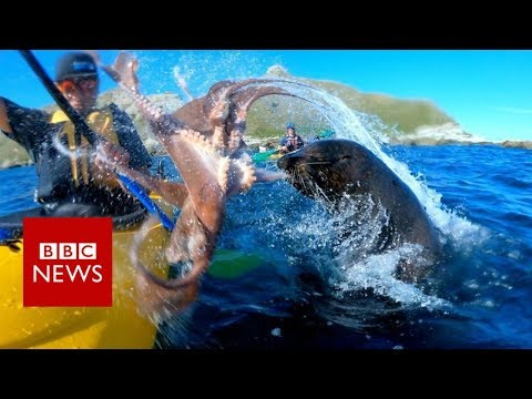Seal slaps man with octopus - BBC News