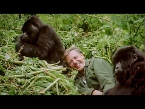 David Attenborough Plays with Cute Baby Gorillas | BBC Earth