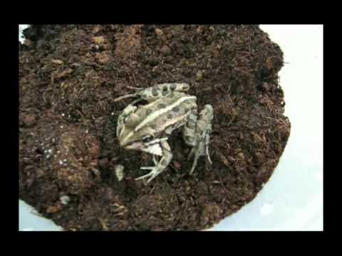 Frog versus Epomis beetle larva