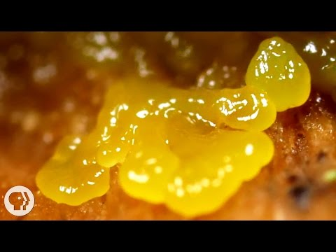 This Pulsating Slime Mold Comes in Peace (ft. It's Okay to Be Smart) | Deep Look