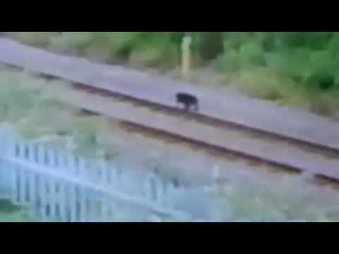 Mystery Big Cat Filmed By British Policeman