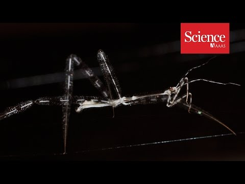 Assassin bugs ambush spiders in their own webs