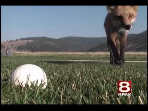 Fox steals golf balls