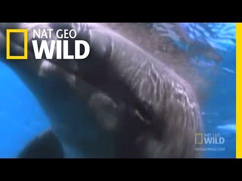 The Dark Side of Dolphins | Nat Geo Wild