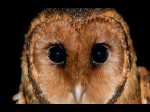 Bookend Trust - the Tasmanian Masked Owl