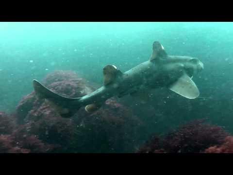 Horn Sharks