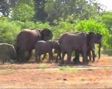 Angry Elephants Trumpeting and Rumbling