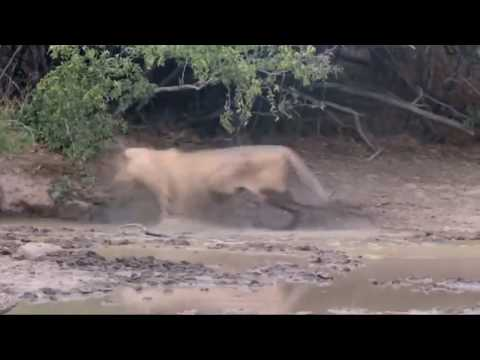 Lion Go Crazy After Being Bitten By A Black Mamba