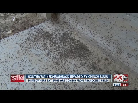 Southwest neighborhood invaded by chinch bugs