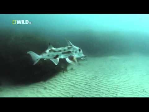 Kingdom of the Oceans : Elephant Fish