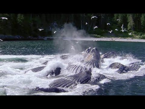 Whales' Bubble Net Fishing | Nature's Great Events | BBC Earth