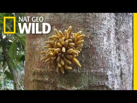 This Bug's Form of Defense? Synchronized Wiggling | Nat Geo Wild