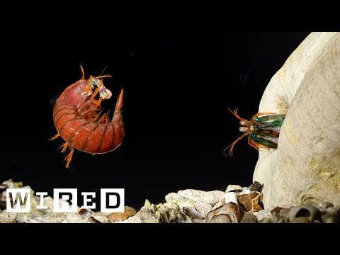Making a Mantis Shrimp Fight Club | WIRED