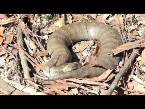 Death adder encounter