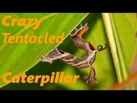Crazy Tentacled Caterpillar in Tambopata, Peru