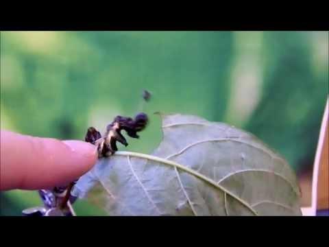 Harrisimemna trisignata - the shaking caterpillar