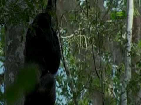 Chimpanzee Cannibalism