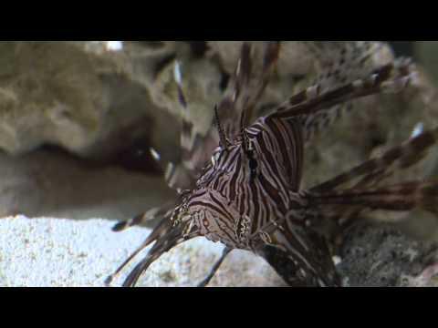 Lionfish Feeding Frenzy