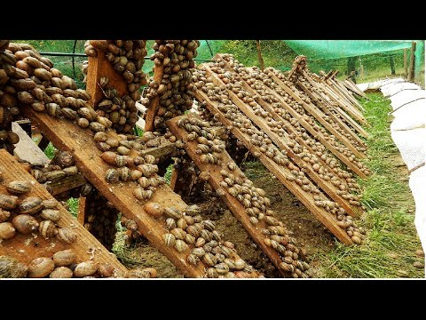 Amazing Snail Farm Technology 🐌 - Snail Harvest and Processing - Products of Snail : Snail caviar