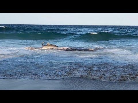 Tiger Shark Beaches Itself Onto Shore To Eat Whale Carcass