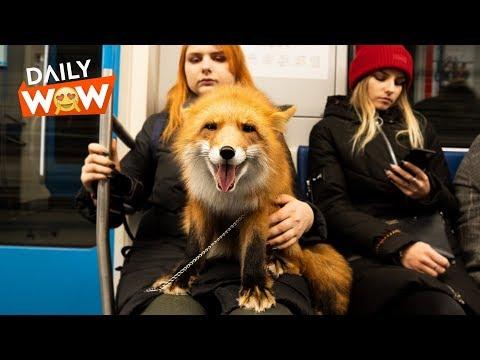 Fox on the Subway!