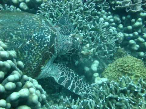Hawksbill Sea Turtle eating sponges