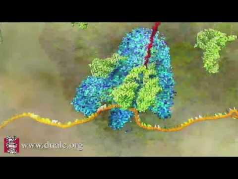 mRNA Translation (Advanced)