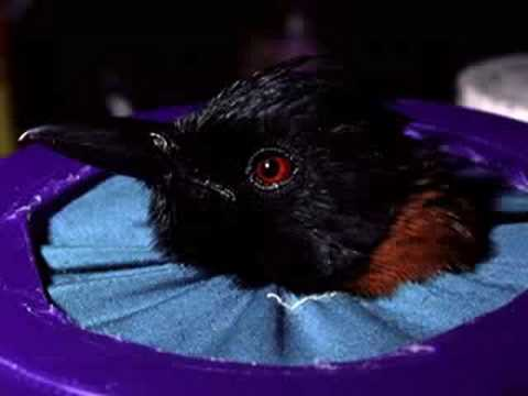 Jack Dumbacher: Hooded Pitohui | California Academy of Sciences