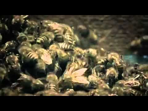 Japanese Giant Hornet Scout Killed by Asian Bees