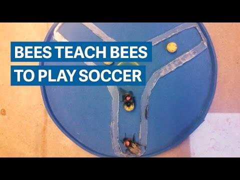 These bees taught their friends to play bee soccer