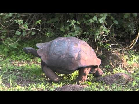 Santa Cruz Island Giant Tortoise, Chelonoidis nigra porteri