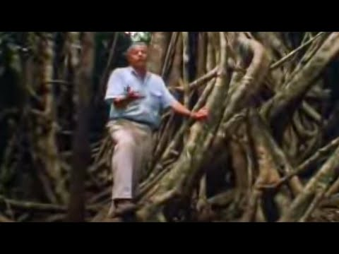 How the Fig Tree Strangles other Plants | David Attenborough | BBC Studios